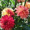 なばなの里は秋の花、コスモスやダリアが見どころ満載です。