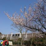 子連れで花見をのんびりくつろぎながら楽しみたい人は比奈知ダムへ行きませんか?